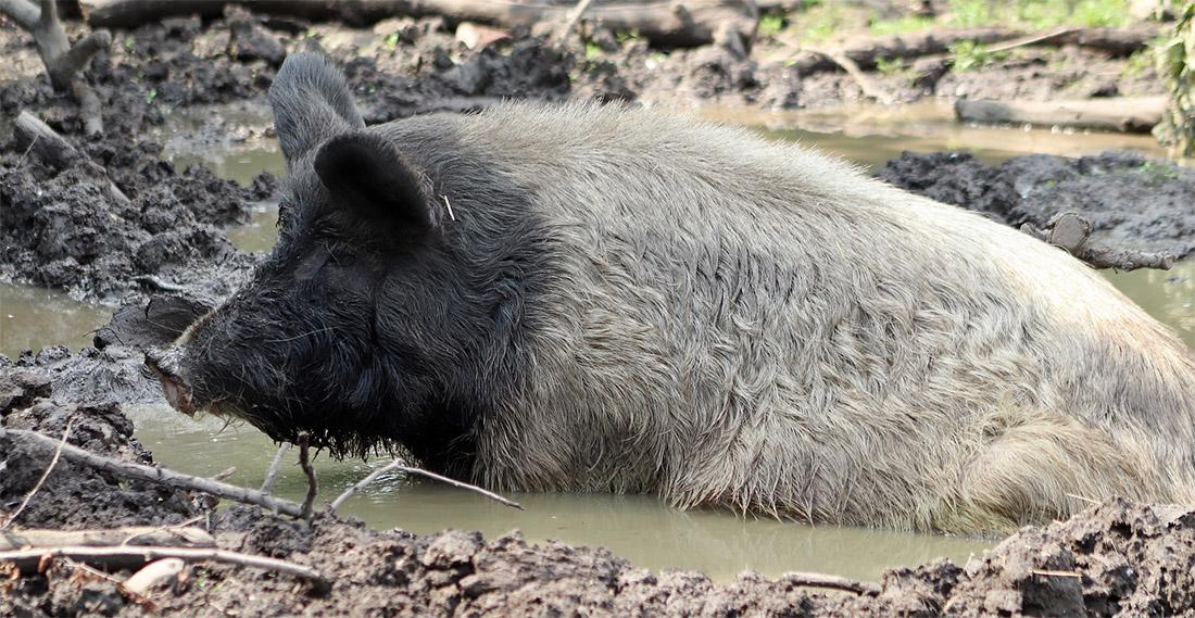 porc cochon élevage