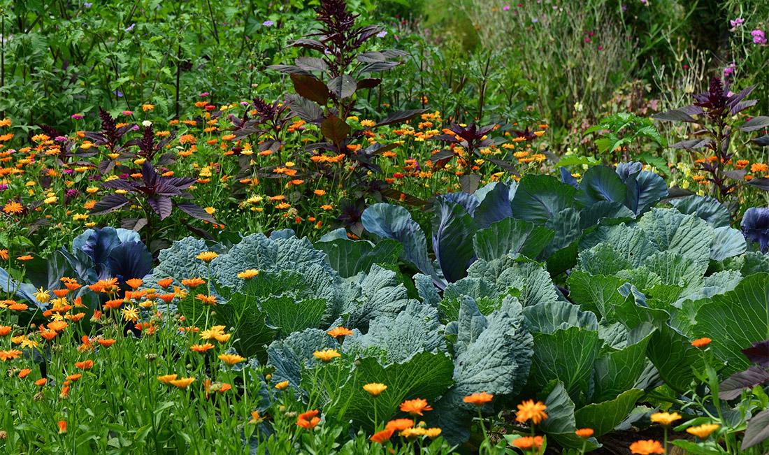 culture de choux au jardin