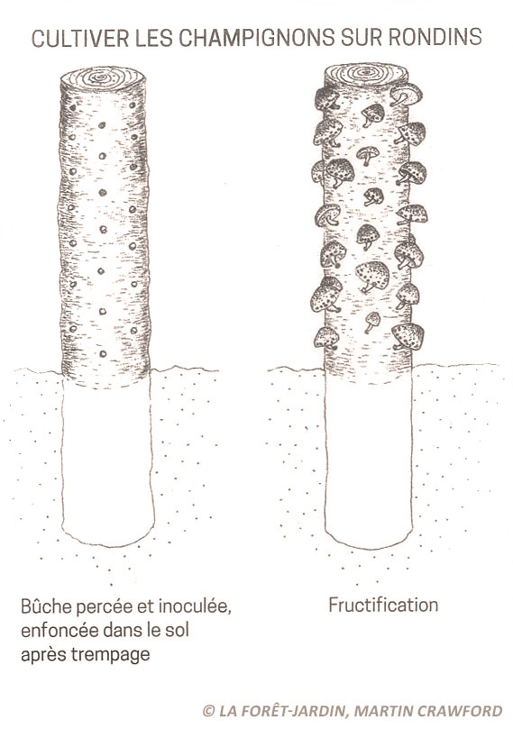 culture champignons rondins