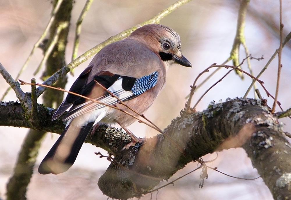 oiseau france animal geai des chênes