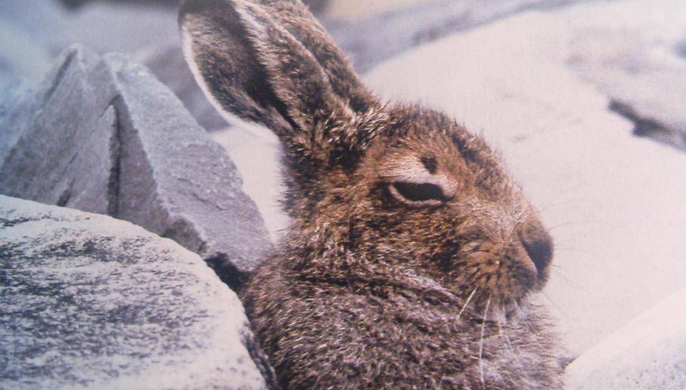 Lièvre variable Lepus timidus