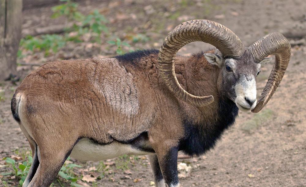 mouflon corse Ovis aries musimon