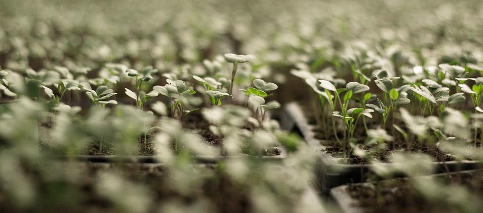 Le semis consiste à mettre en terre les graines ou semences dans un champ ou une surface de petite dimension.