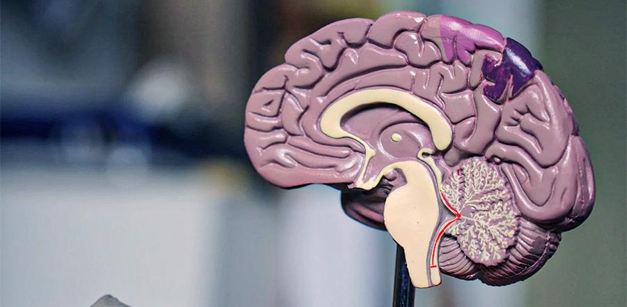 Maquette de cerveau humain